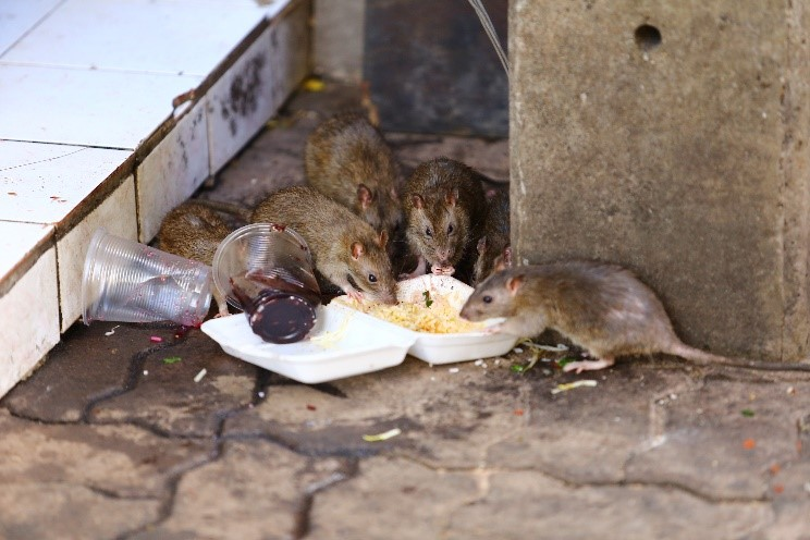 Rats hiding in a roof cavity