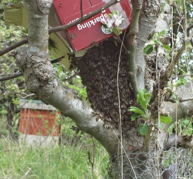 Tree with hornet infestation