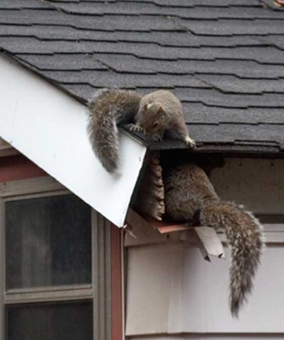 grey squirrels invading roof space