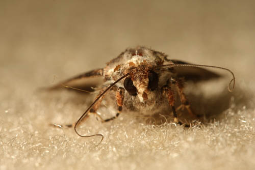 moth eating carpet