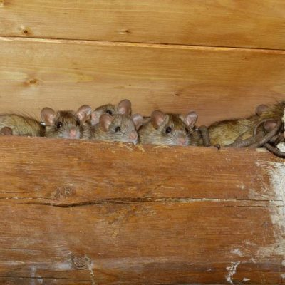 rodents hiding in a roof cavity