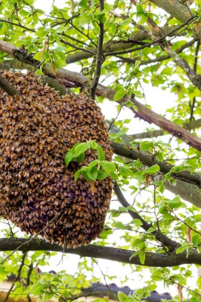 bees nest in a tree